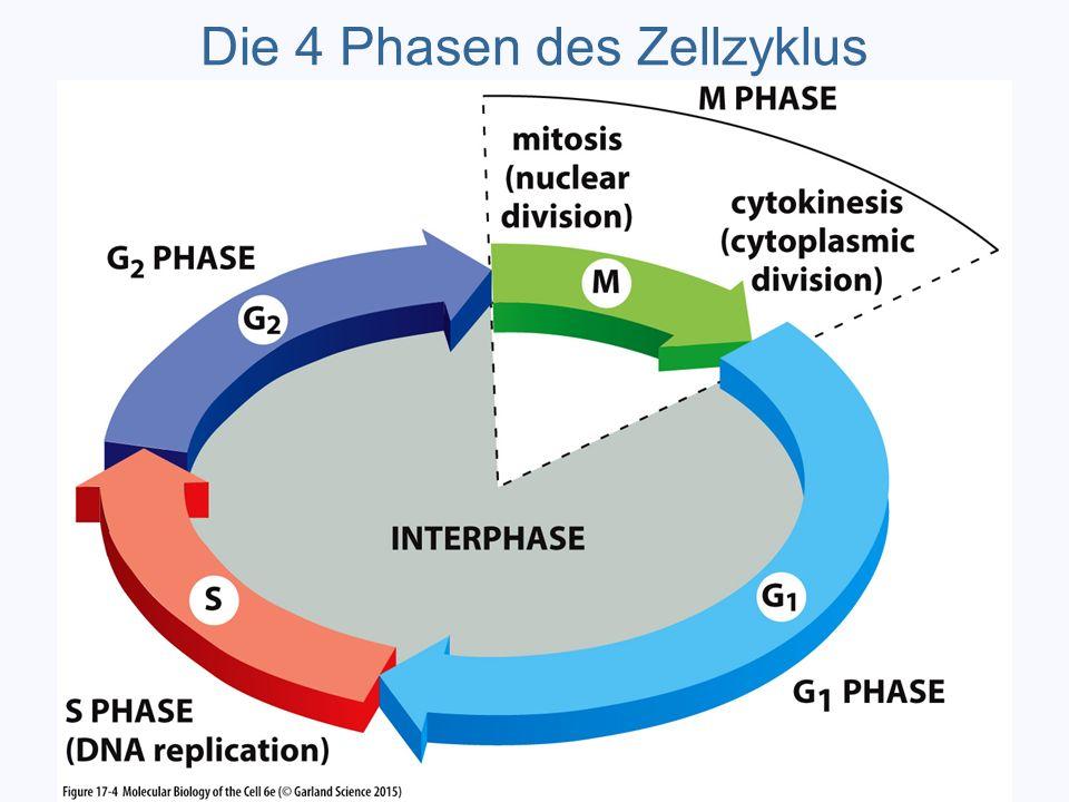 Die 4 Phasen des Zellzyklus
