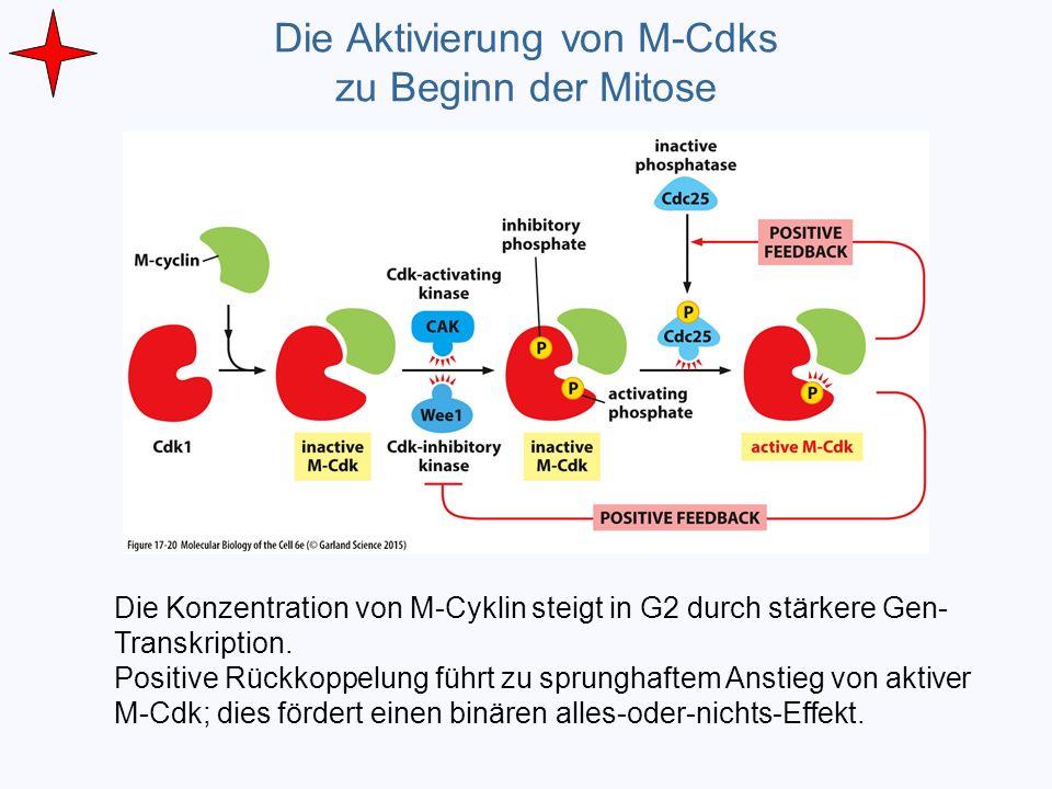 Die Aktivierung von M-Cdks zu Beginn der Mitose