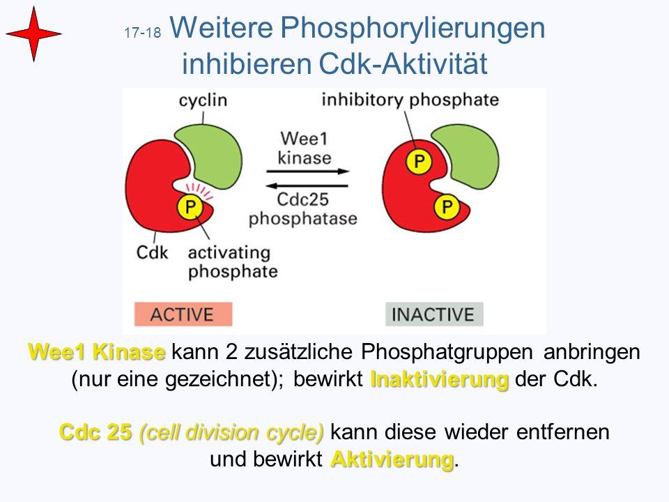 17-18 Weitere Phosphorylierungen inhibieren Cdk-Aktivität
