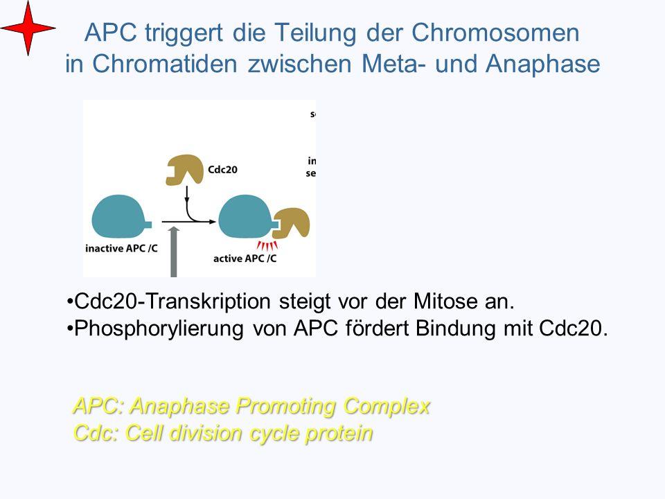 APC triggert die Teilung der Chromosomen in Chromatiden zwischen Meta- und Anaphase