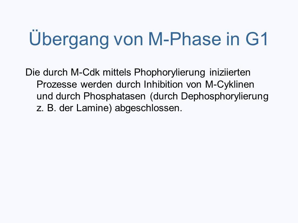 Übergang von M-Phase in G1