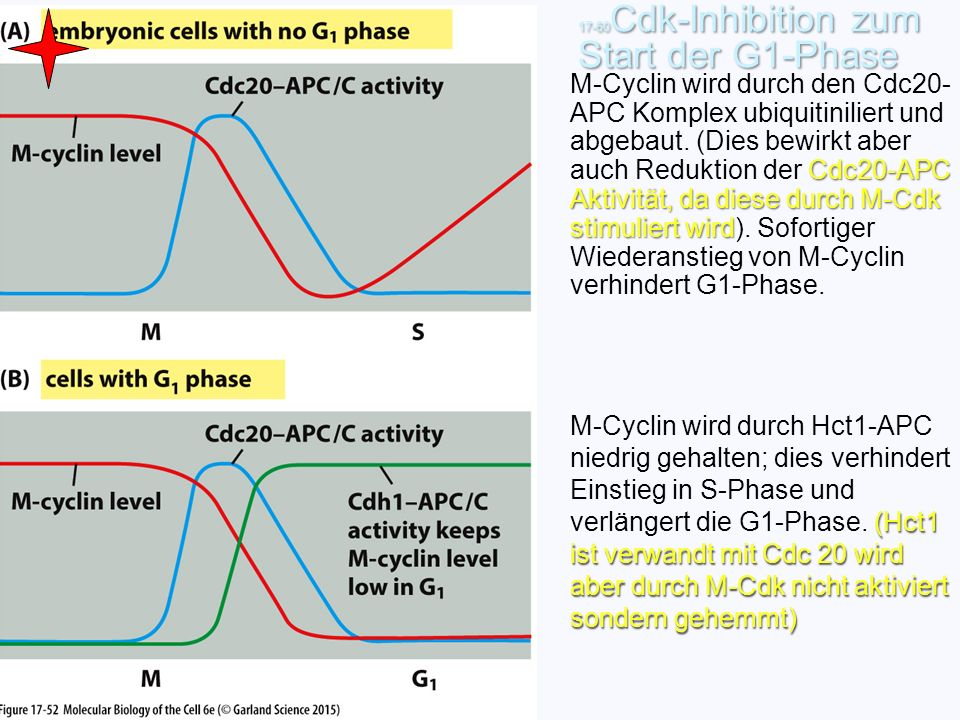 17-60Cdk-Inhibition zum Start der G1-Phase
