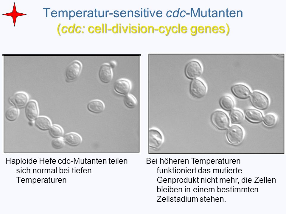 Temperatur-sensitive cdc-Mutanten (cdc: cell-division-cycle genes)