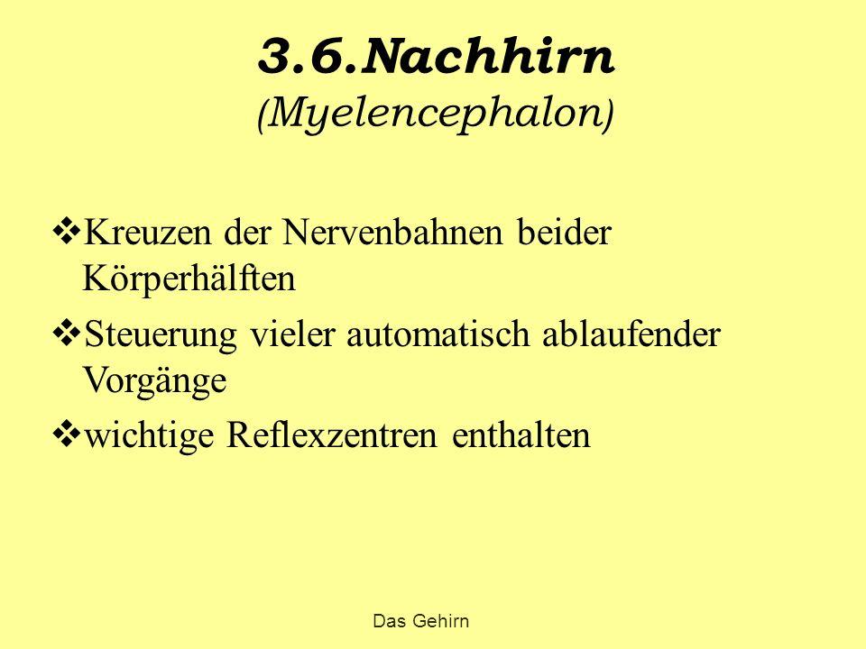 3.6.Nachhirn (Myelencephalon)