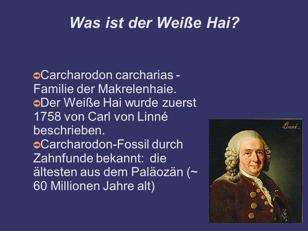 Was ist der Weiße Hai Carcharodon carcharias - Familie der Makrelenhaie. Der Weiße Hai wurde zuerst 1758 von Carl von Linné beschrieben.