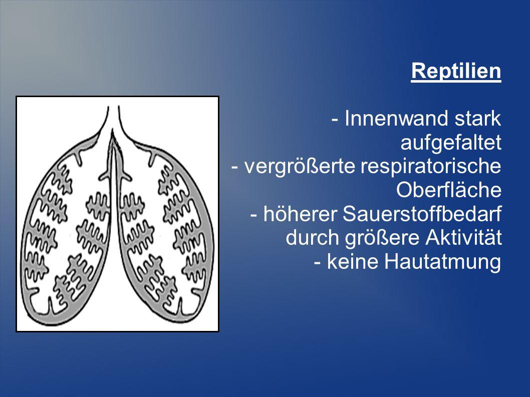 Reptilien - Innenwand stark. aufgefaltet. - vergrößerte respiratorische. Oberfläche. - höherer Sauerstoffbedarf.