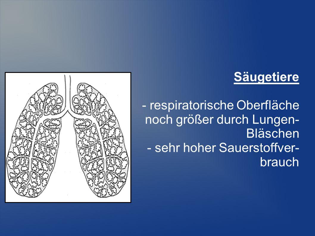 Säugetiere - respiratorische Oberfläche. noch größer durch Lungen- Bläschen. - sehr hoher Sauerstoffver-