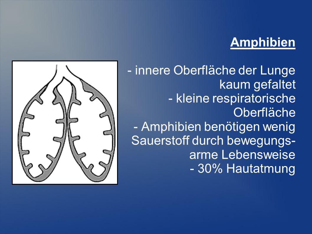 Amphibien - innere Oberfläche der Lunge. kaum gefaltet. - kleine respiratorische. Oberfläche. - Amphibien benötigen wenig.