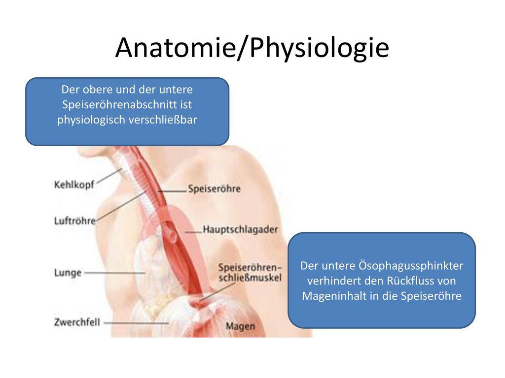 Niedlich Anatomie Des Unteren Schließmuskels Der Speiseröhre Galerie ...