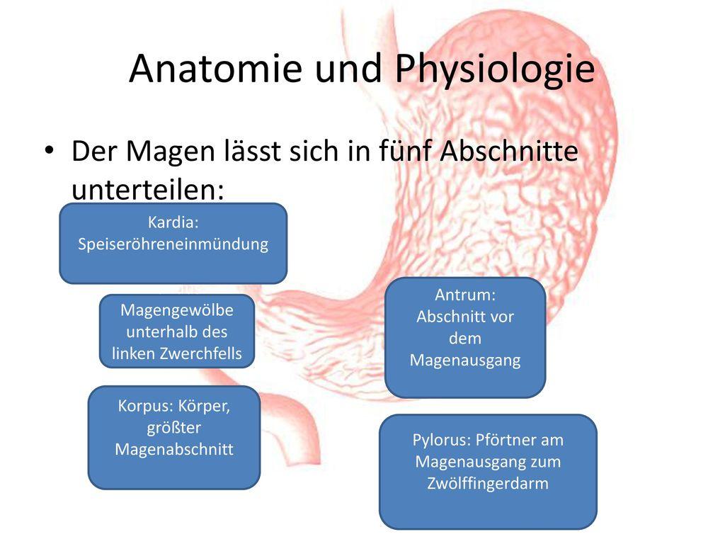 Charmant Magen Anatomie Antrum Galerie - Menschliche Anatomie Bilder ...