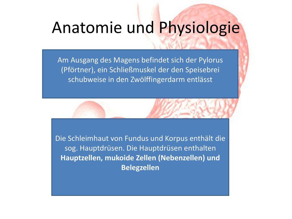 Berühmt Anatomie Und Physiologie Des Magens Bilder - Menschliche ...