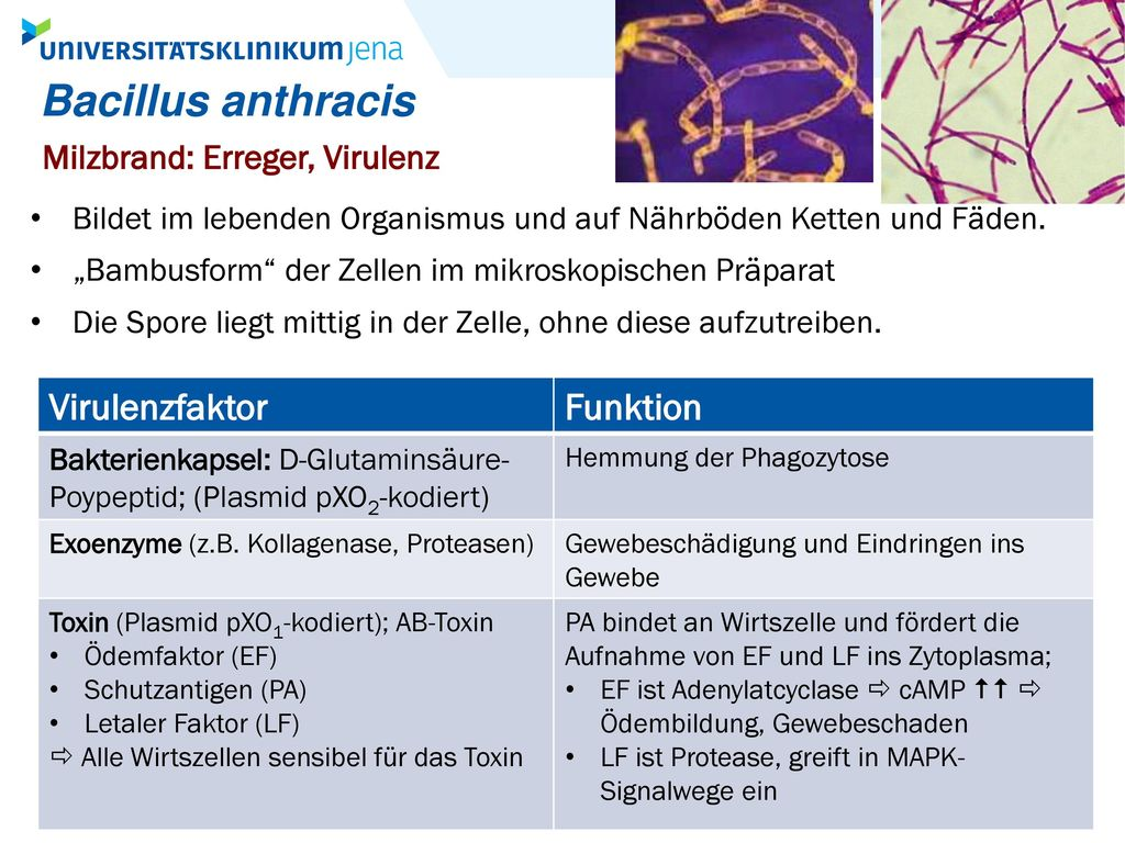 Bacillus anthracis Virulenzfaktor Funktion
