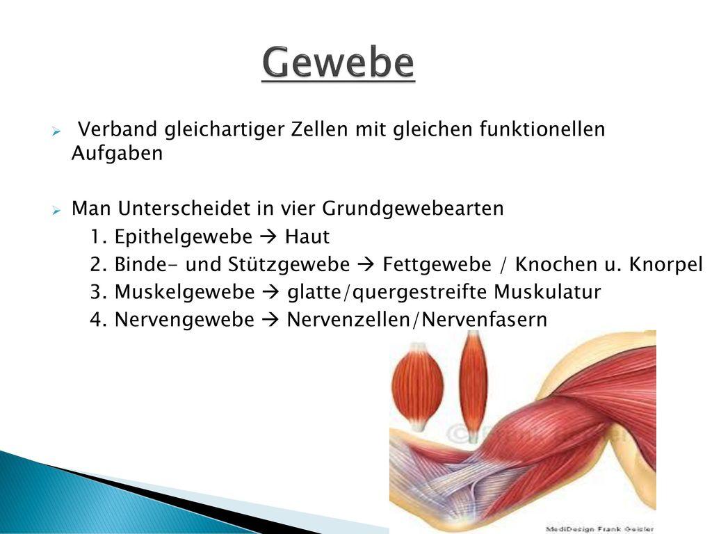 Großzügig Muskelgewebes Galerie - Physiologie Von Menschlichen ...
