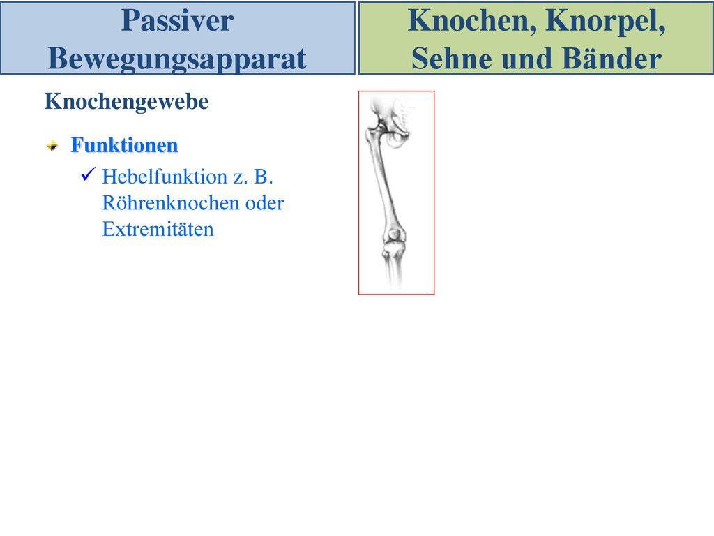 Passiver Bewegungsapparat Knochen, Knorpel, Sehne und Bänder