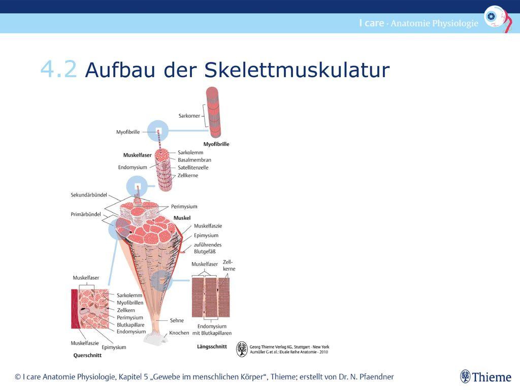 4.2 Aufbau der Skelettmuskulatur