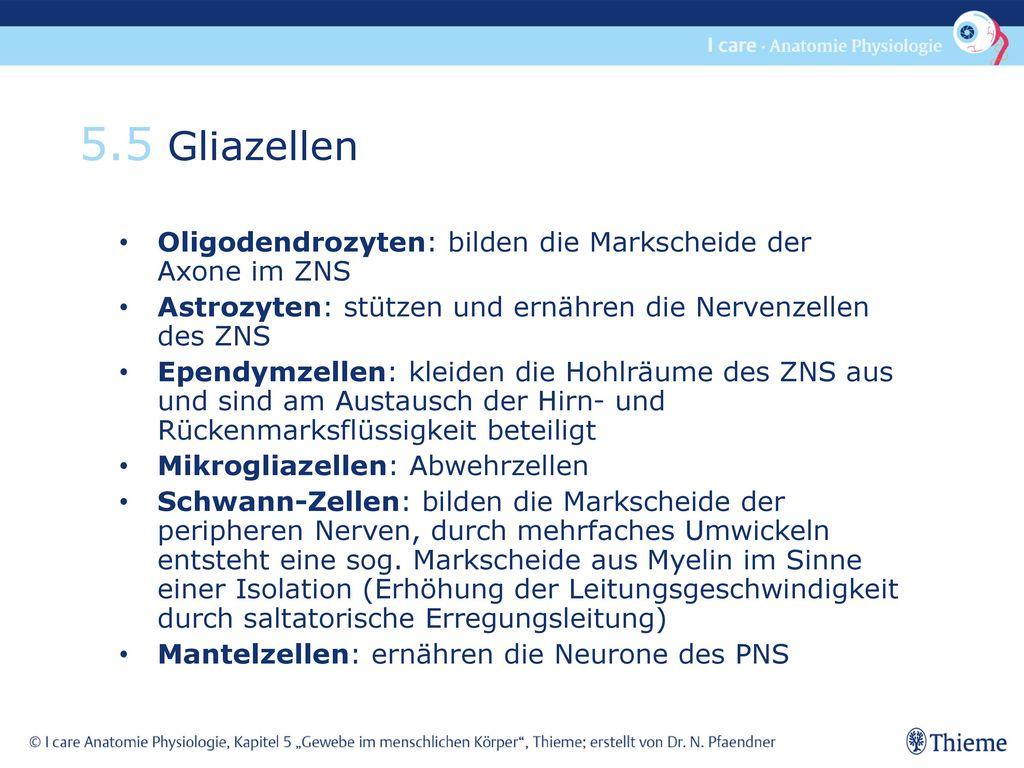 5.5 Gliazellen Oligodendrozyten: bilden die Markscheide der Axone im ZNS. Astrozyten: stützen und ernähren die Nervenzellen des ZNS.