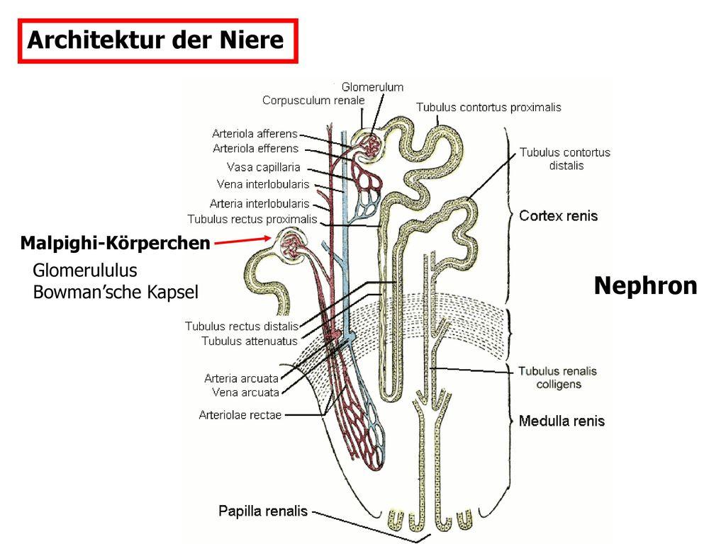 Fein Medulla Der Niere Galerie - Menschliche Anatomie Bilder ...