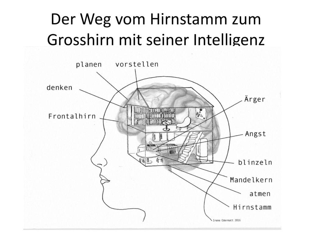 Der Weg vom Hirnstamm zum Grosshirn mit seiner Intelligenz