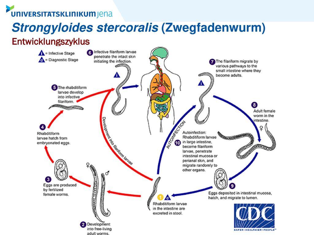 Strongyloides stercoralis (Zwegfadenwurm)