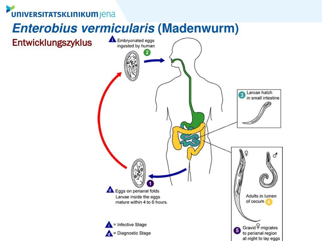 Enterobius vermicularis (Madenwurm)