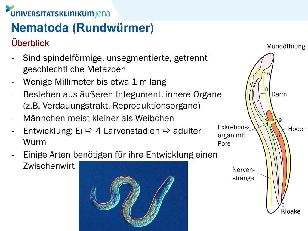 Nematoda (Rundwürmer)
