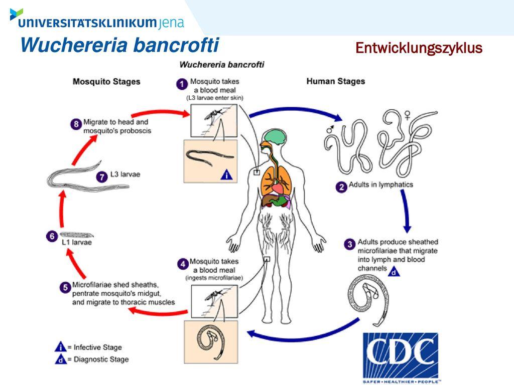 Wuchereria bancrofti Entwicklungszyklus