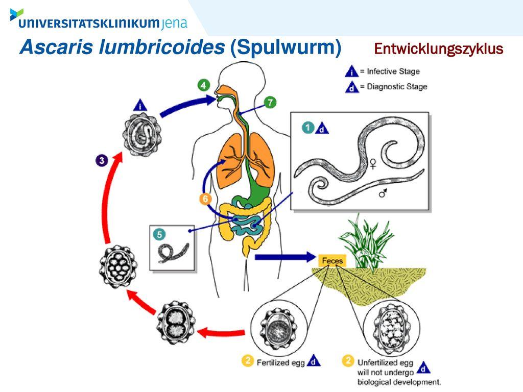 Ascaris lumbricoides (Spulwurm)