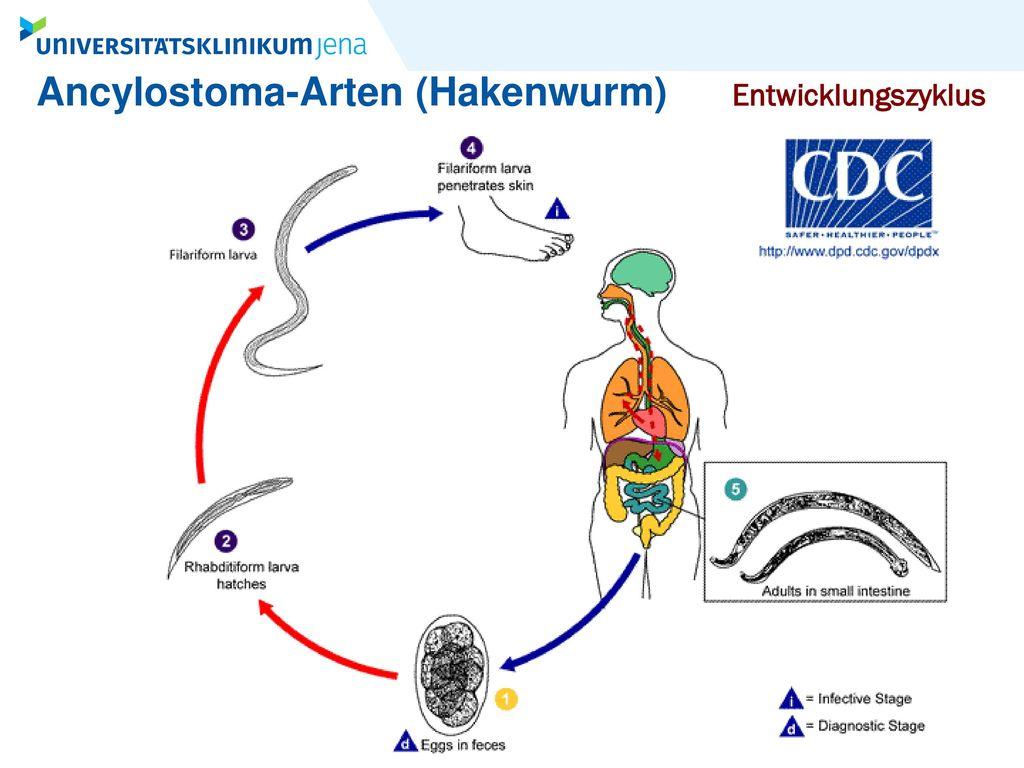 Ancylostoma-Arten (Hakenwurm)