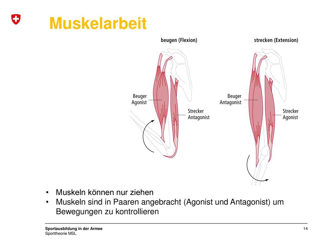 Muskelarbeit Muskeln können nur ziehen