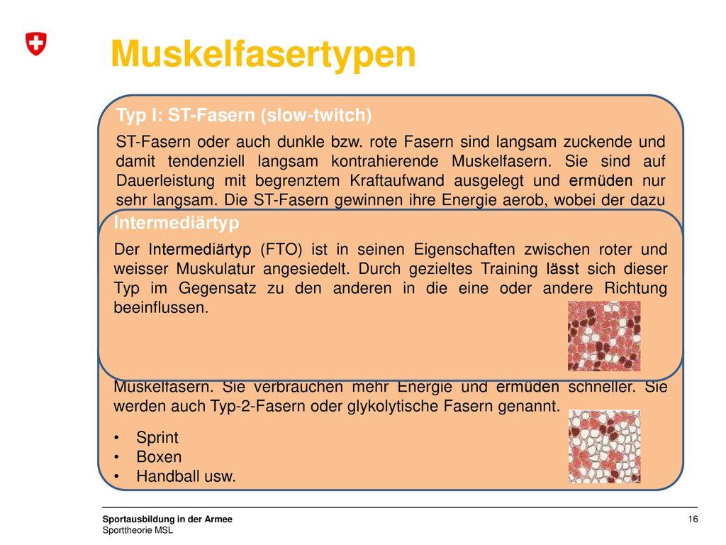Muskelfasertypen Typ I: ST-Fasern (slow-twitch) Intermediärtyp