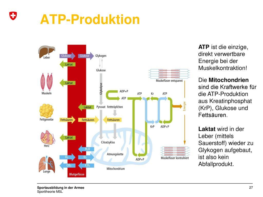 ATP-Produktion ATP ist die einzige, direkt verwertbare Energie bei der Muskelkontraktion!