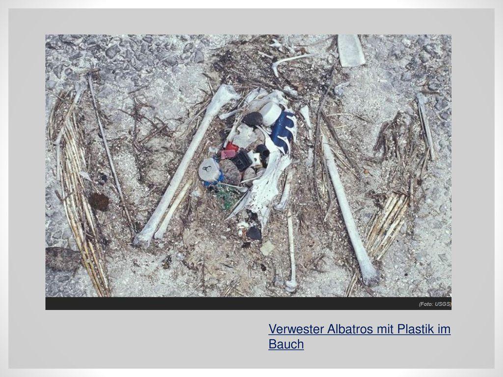 Verwester Albatros mit Plastik im Bauch