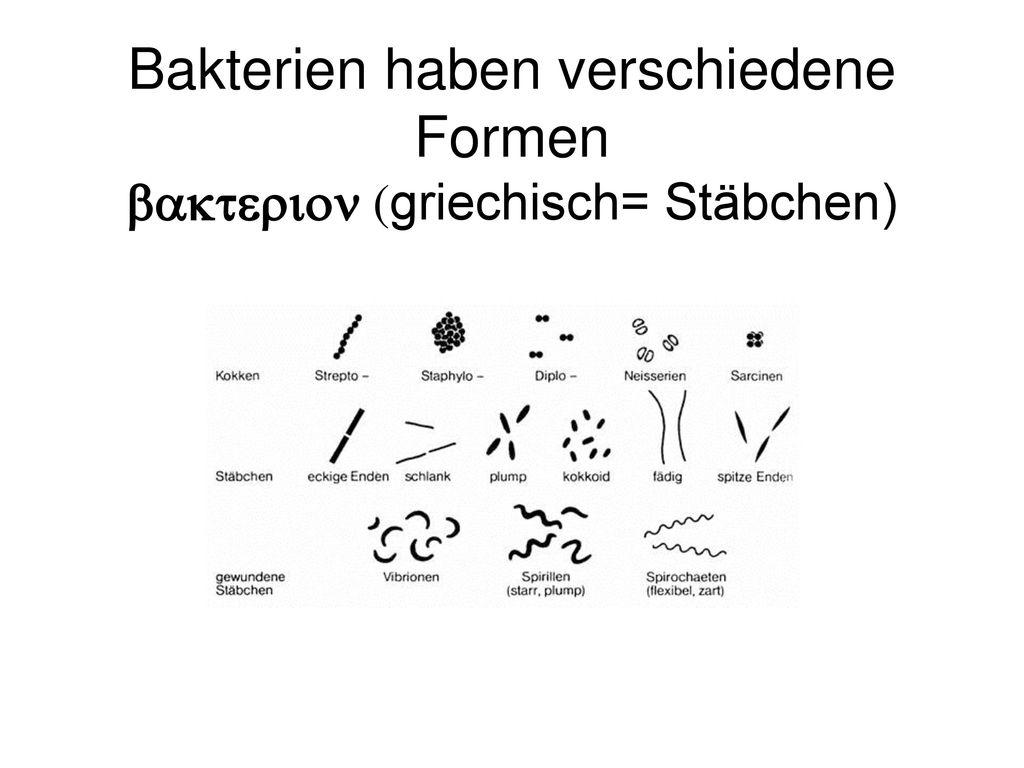 Bakterien haben verschiedene Formen bakterion (griechisch= Stäbchen)