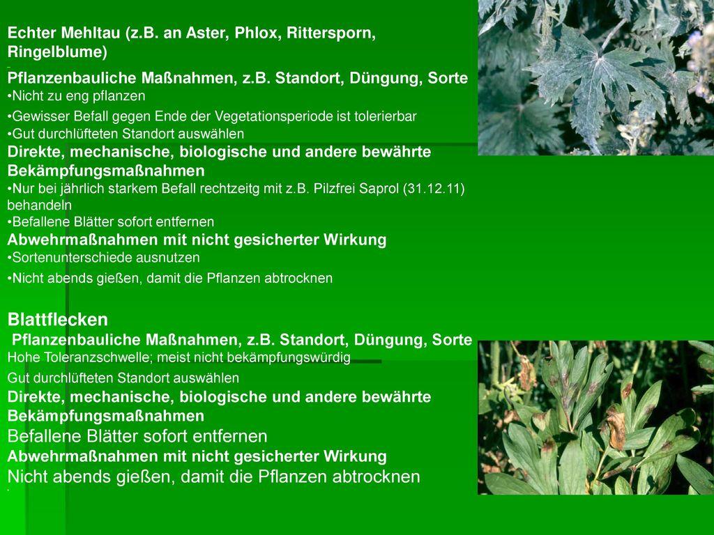 Echter Mehltau (z.B. an Aster, Phlox, Rittersporn, Ringelblume)