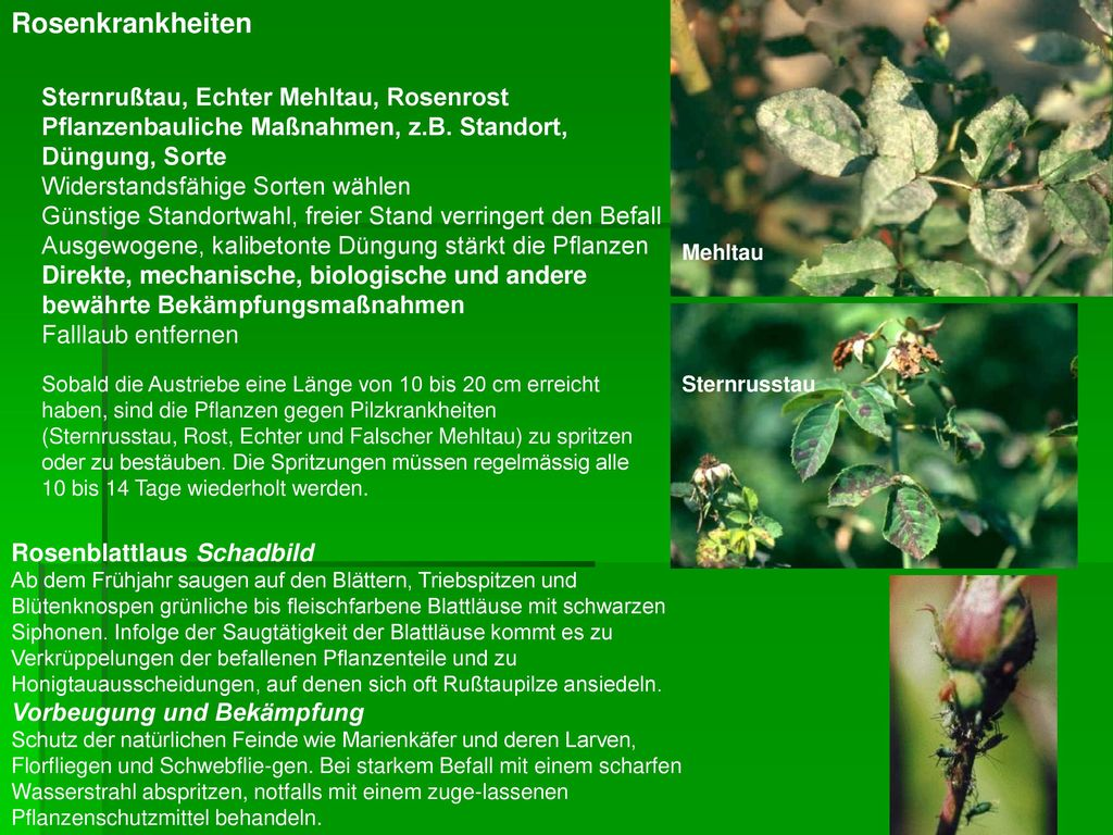 Rosenrost Behandlung was tun bei rosenrost mit braunen blttern with mehltau