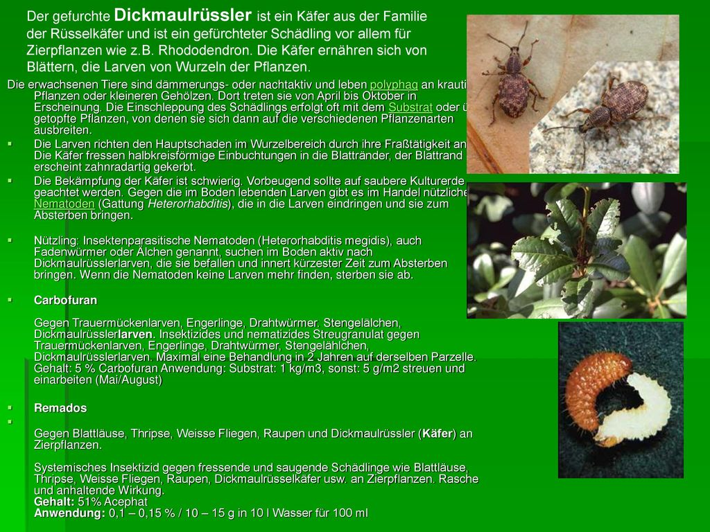 Der gefurchte Dickmaulrüssler ist ein Käfer aus der Familie der Rüsselkäfer und ist ein gefürchteter Schädling vor allem für Zierpflanzen wie z.B. Rhododendron. Die Käfer ernähren sich von Blättern, die Larven von Wurzeln der Pflanzen.
