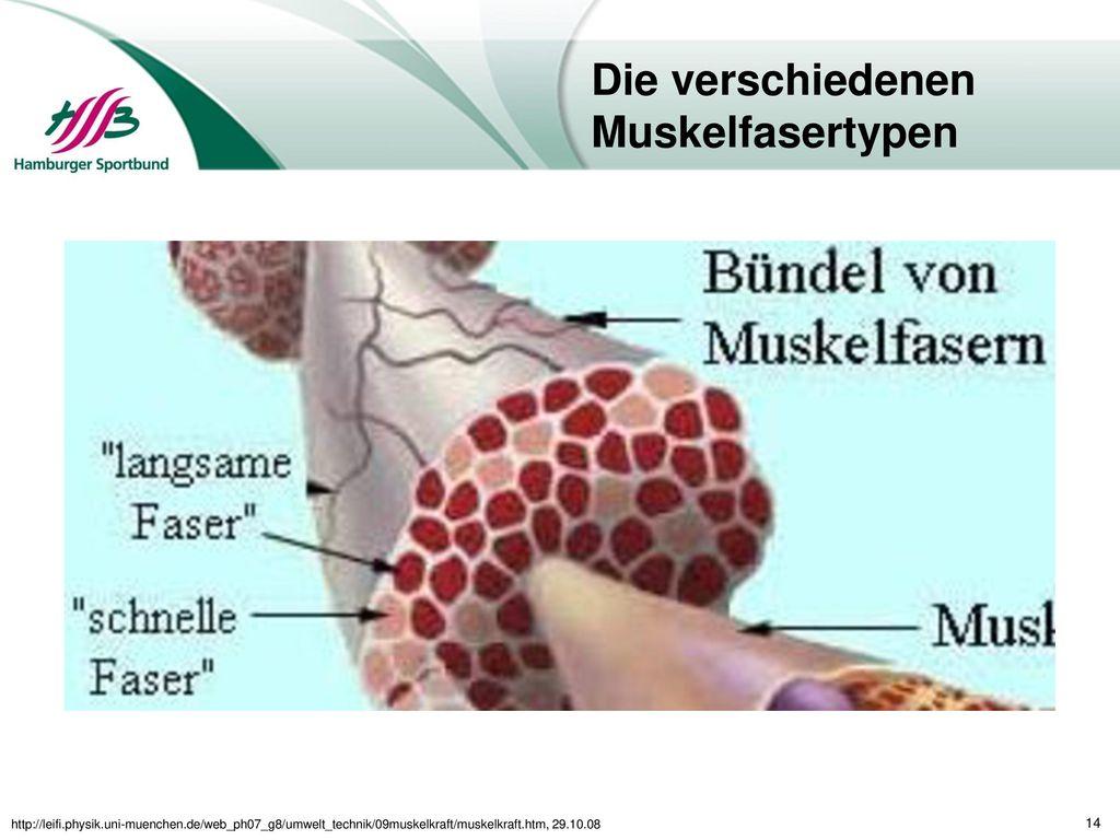 Die verschiedenen Muskelfasertypen