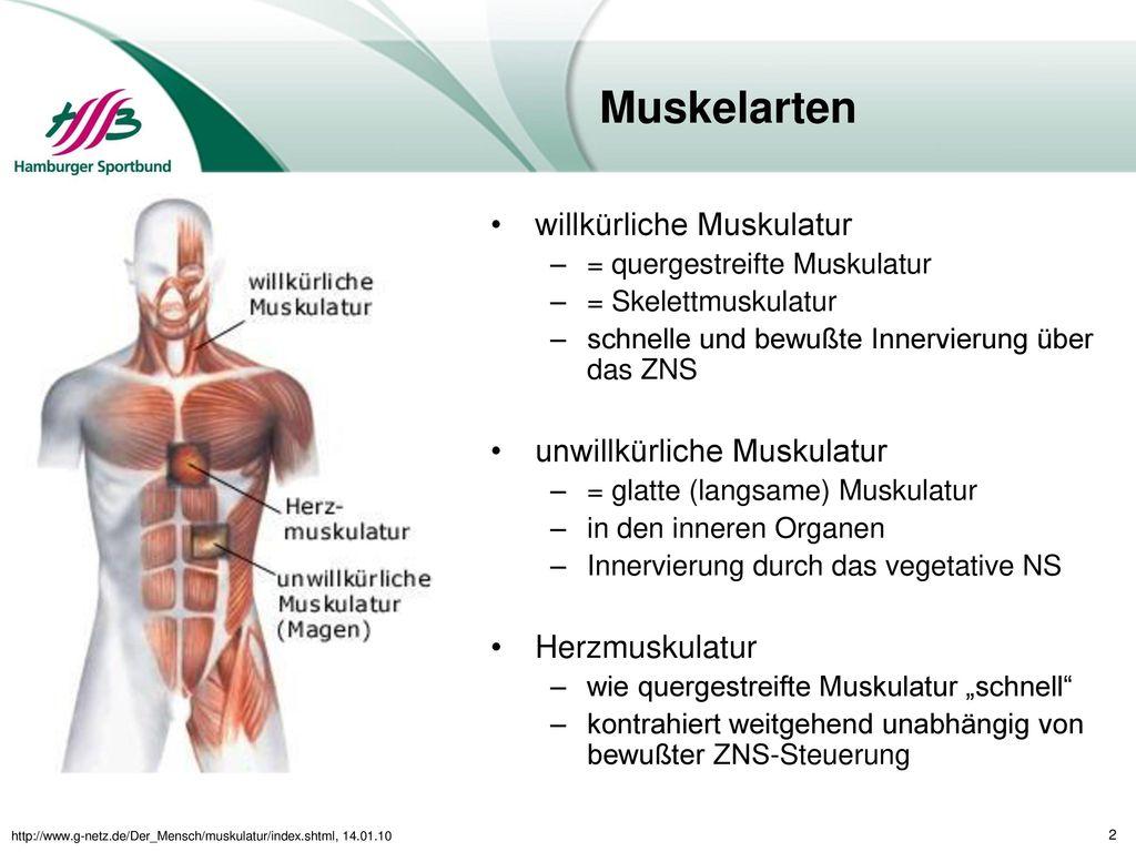 Muskelarten willkürliche Muskulatur unwillkürliche Muskulatur
