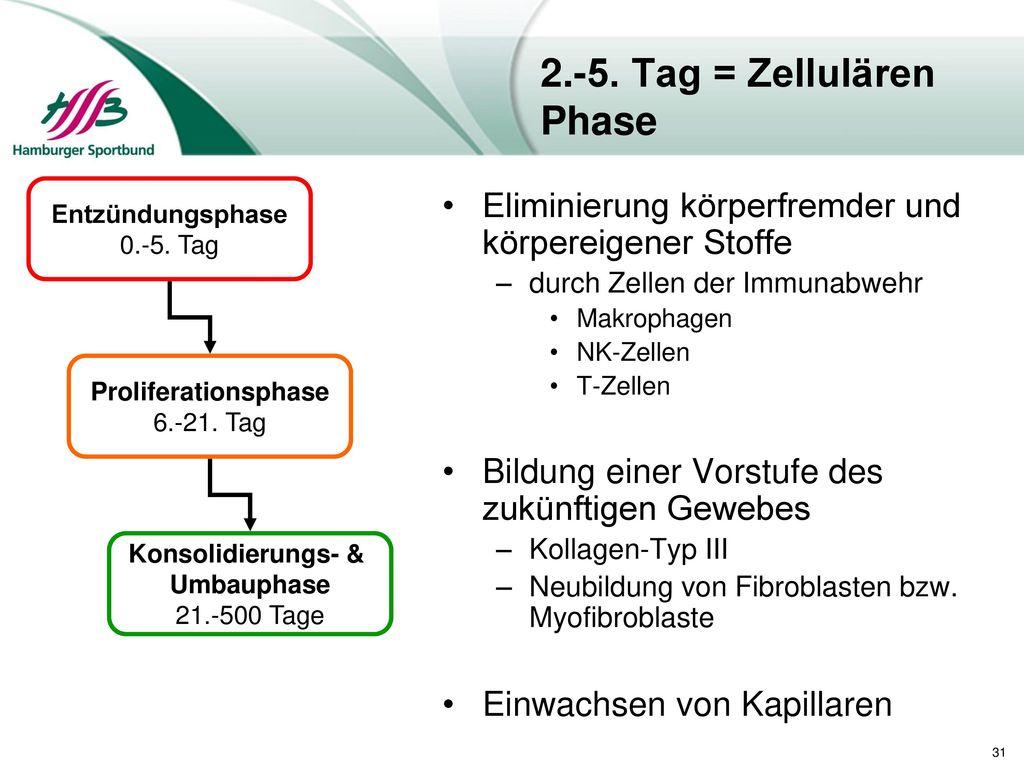 2.-5. Tag = Zellulären Phase