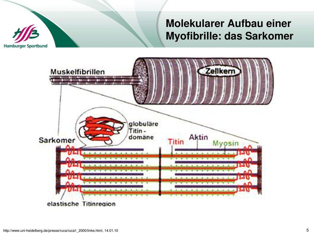 Molekularer Aufbau einer Myofibrille: das Sarkomer