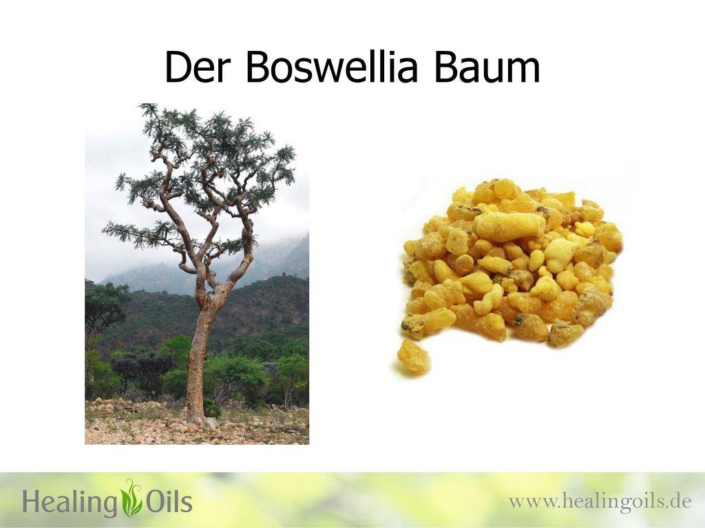 Der Boswellia Baum www.healingoils.de