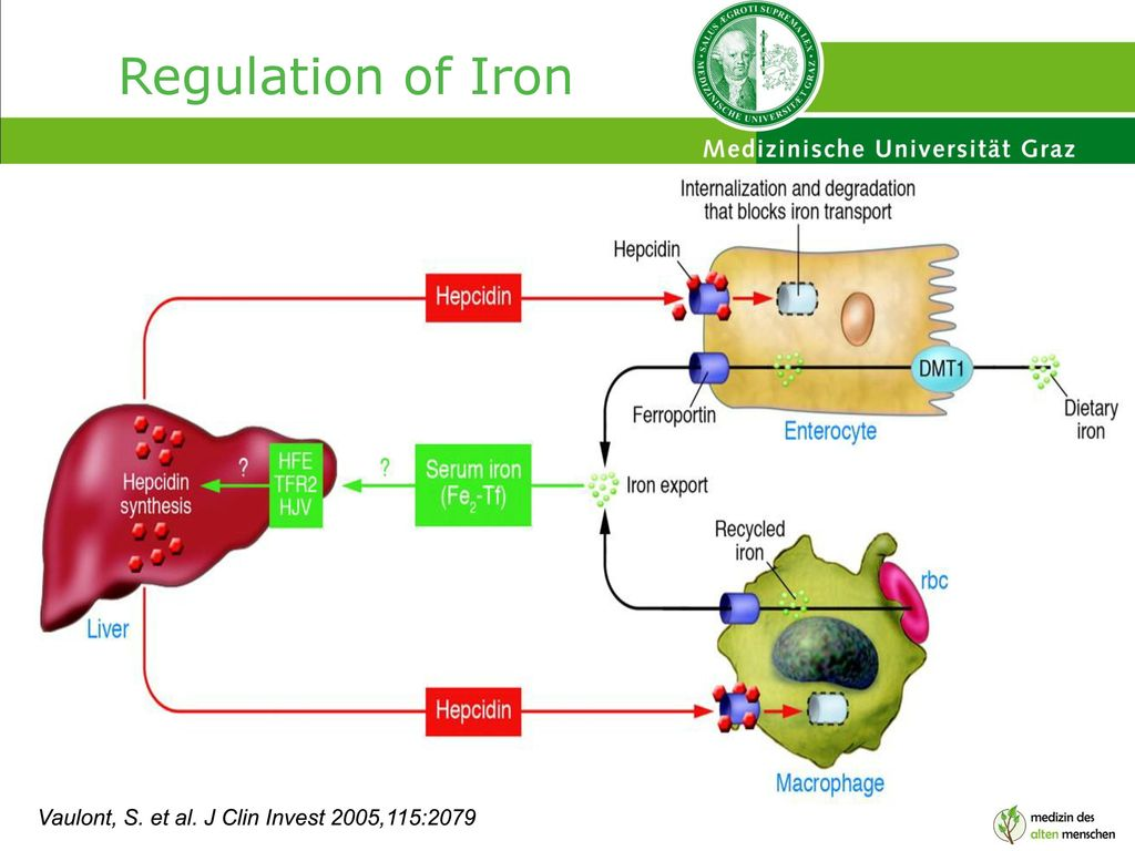 Regulation of Iron Vaulont, S. et al. J Clin Invest 2005,115:2079
