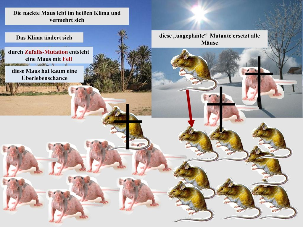 Die nackte Maus lebt im heißen Klima und vermehrt sich