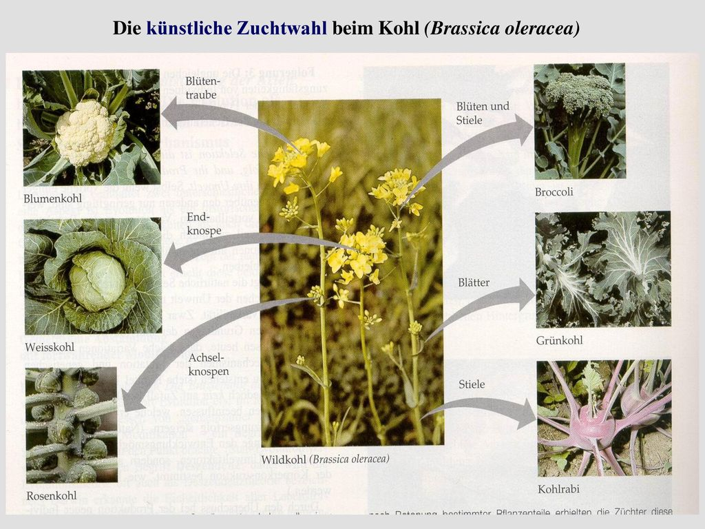 Die künstliche Zuchtwahl beim Kohl (Brassica oleracea)