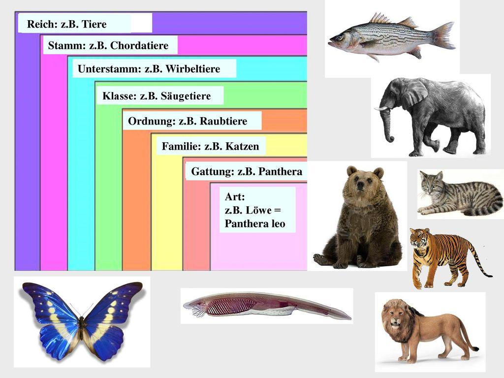 Reich: z.B. Tiere Stamm: z.B. Chordatiere. Unterstamm: z.B. Wirbeltiere. Klasse: z.B. Säugetiere.