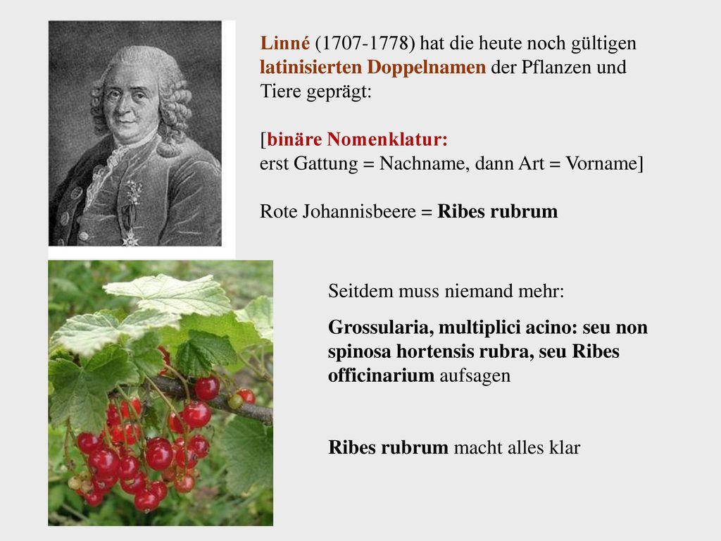 Linné (1707-1778) hat die heute noch gültigen latinisierten Doppelnamen der Pflanzen und Tiere geprägt: