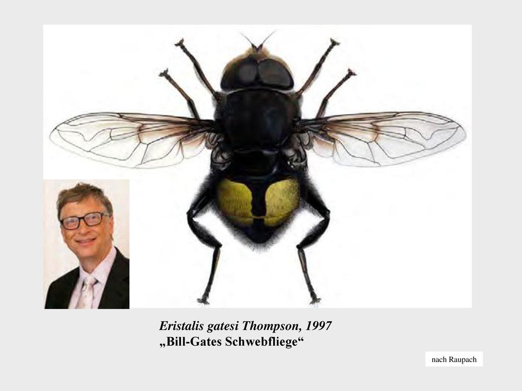 "Eristalis gatesi Thompson, 1997 ""Bill-Gates Schwebfliege"