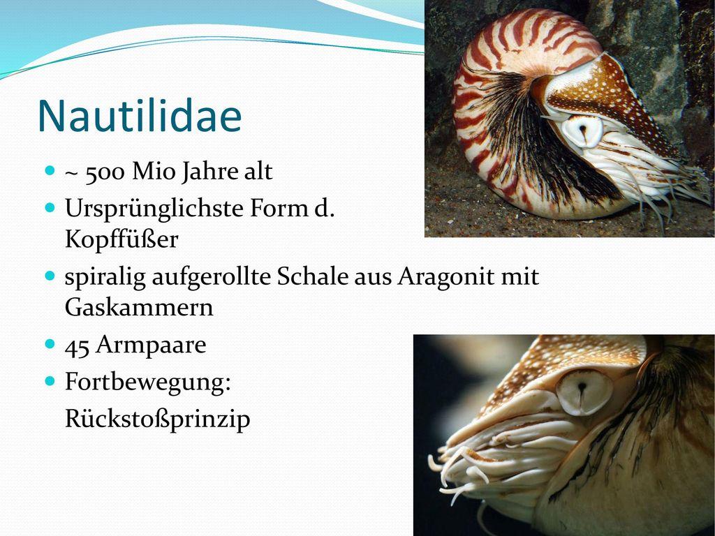 Nautilidae ~ 500 Mio Jahre alt Ursprünglichste Form d. Kopffüßer