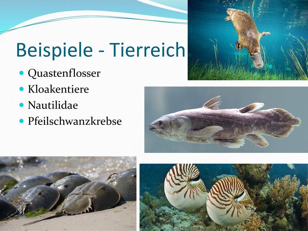 Beispiele - Tierreich Quastenflosser Kloakentiere Nautilidae