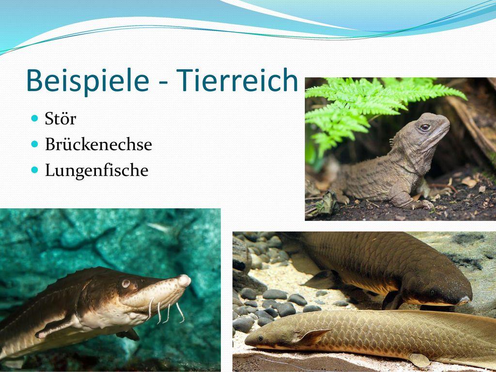Beispiele - Tierreich Stör Brückenechse Lungenfische